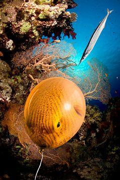 Ballonfisch von Dray van Beeck