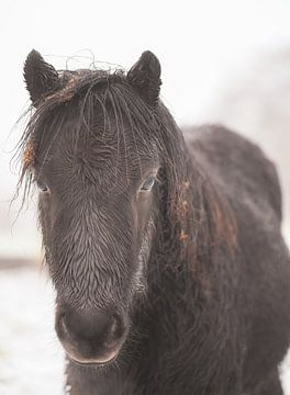 Porträt eines Ponys von Tania Perneel