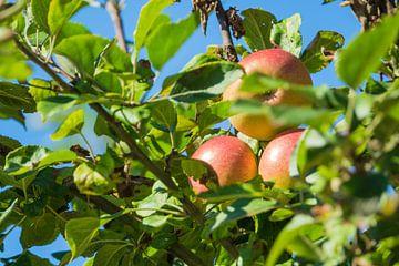 Red apples on an apple tree van Rico Ködder