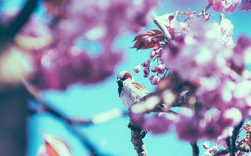 Der Spatz zwischen den Kirschblüten Nr. 1 von Alex Hamstra