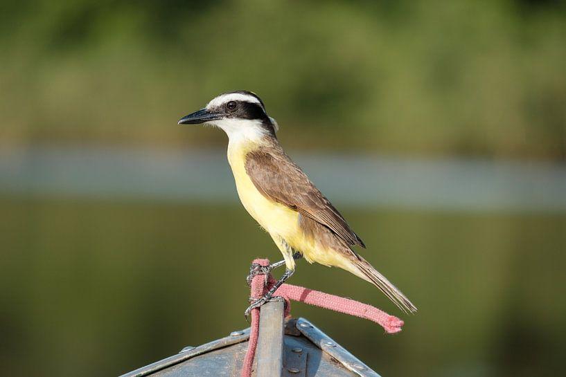 Grote kiskadie in de Pantanal van Erwin Blekkenhorst