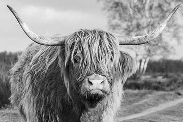 Schottischer Highlander auf der Bussumer Heide von Ramon Van Gelder