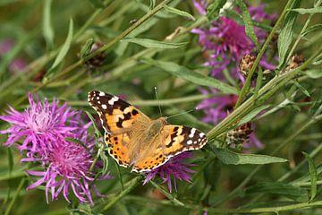 Distel vlinder op zoek naar voedsel van