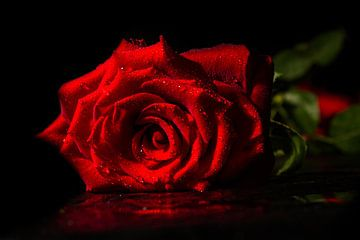 Single rose van Herbert Seiffert