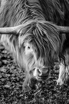 Schotse Hooglander close-up van Melissa Peltenburg