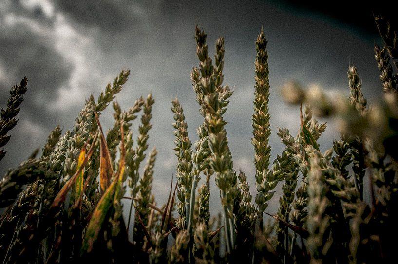Graan van Maurice B Kloots      www.Fototrends.nl
