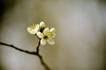 kleine witte bloesem van Tania Perneel