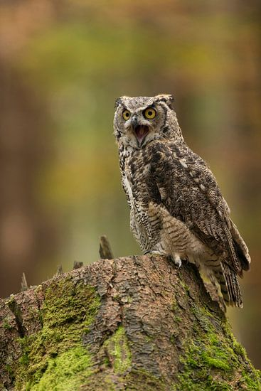 the scream... Great Horned Owl / Tiger Owl  ( Bubo virginianus ) sits on a tree trunk, screaming out