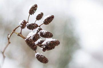 Elzenpropjes in de winter sur Marieke de Boer
