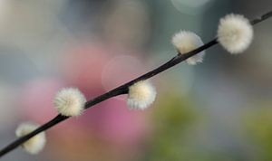 Wilgenkatjes met vrolijke lentekleuren