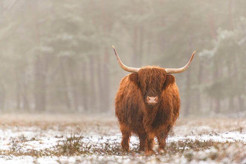 Portret van een Schotse hooglander koe in de sneeuw van Sjoerd van der Wal