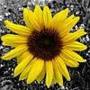 Sonnenblume von Patricia Piotrak Miniaturansicht