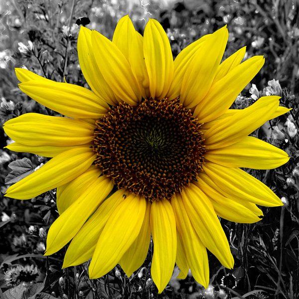 Sonnenblume von Patricia Piotrak