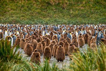 Konings pinguins kolonie met jonge kuikens op South Georgia van Ron van der Stappen