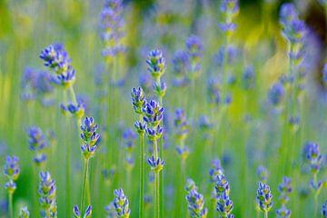 Helles Lavendel von Niek Traas