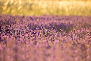 Lavendelveld in de zomer van deinFarbentanz