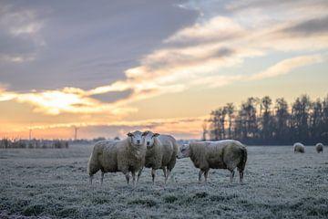 schapen op een koude ochtend van Tania Perneel
