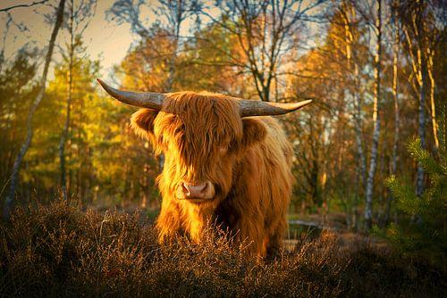 Schotse Hooglander in het gouden licht. van Fotografie Arthur van Leeuwen
