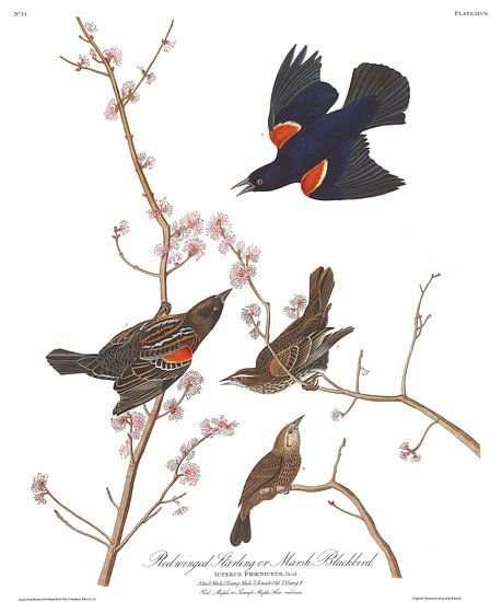 Roodvleugelspreeuw van Birds of America