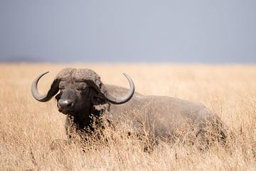 Buffel ligt in het gras van