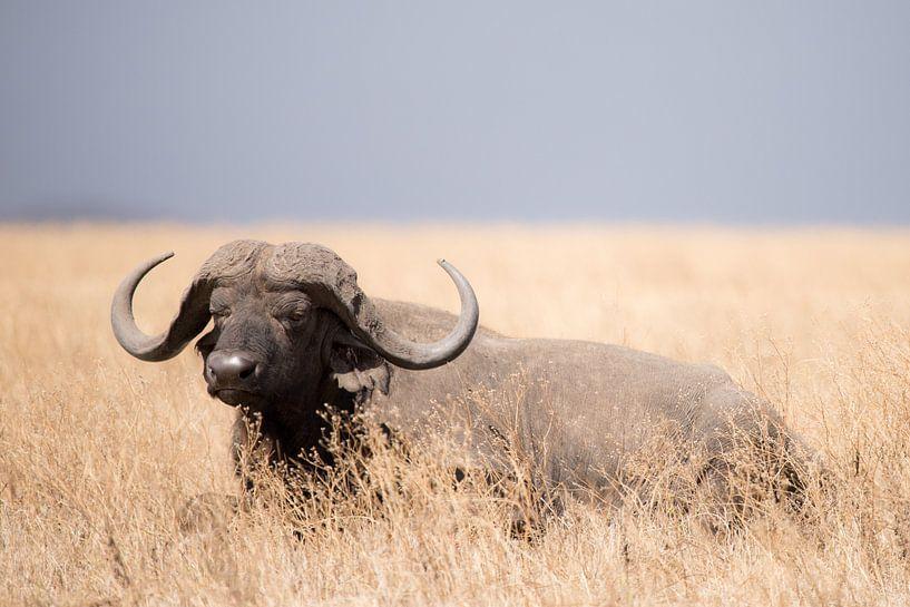 Buffel ligt in het gras van Tom van de Water