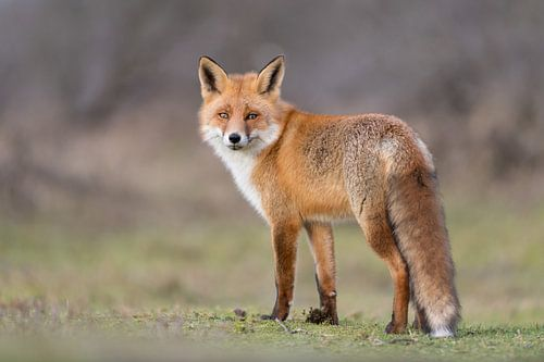 Modélisation du renard roux ! sur Robert Kok