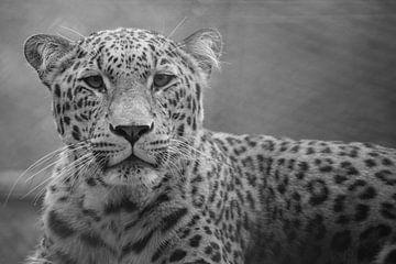 Leopard in schwarz-weiß von Sasja van der Grinten