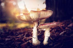 paddenstoel vliegenzwam