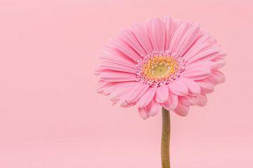 Roze gerbera sur Elles Rijsdijk