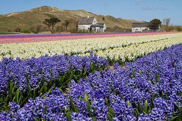 Hyacintenveld langs de duinen van Tiny Hoving-Brands