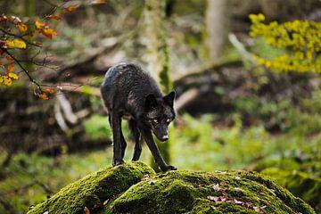 Canadese Timber Wol van Moo pix