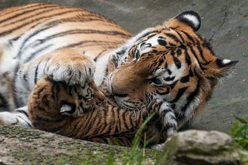 Siberische Tijger : DierenPark Amersfoort van Loek Lobel
