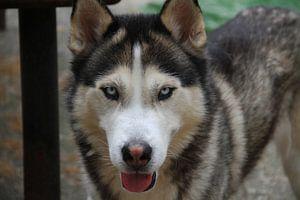 Husky Igor 1