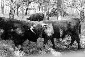 Stierengevecht Hooglanders van Truckpowerr