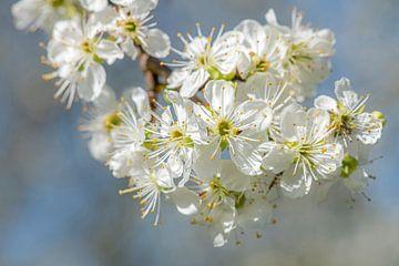 Apfelblüte von Hanneke Luit