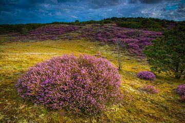 Blühende Heide 4 von Peter Heins
