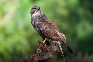 buizerd roofvogel van Björn van den Berg