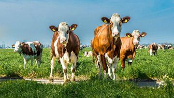 Die Kühe sind neugierig. von Danny den Breejen