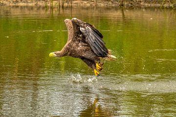 Wasserspritzer fliegen auf, wenn der Seeadler seine Beute aus dem Wasser fischt. von Gea Veenstra