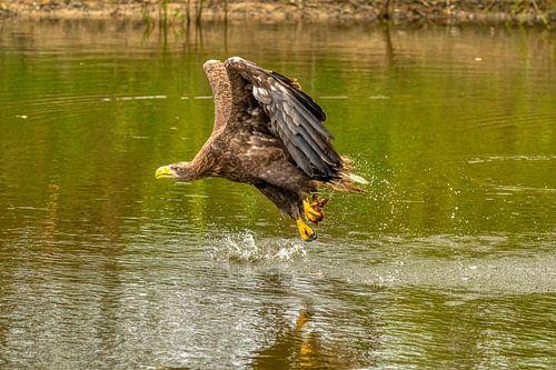 Waterspetters vliegen op wanneer de Europese Zeearend zijn prooi uit het water vist.