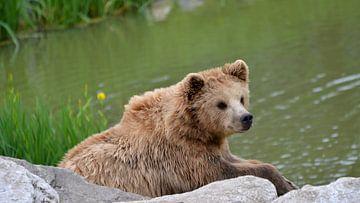 Junger zotteliger Braunbär sitzt auf einigen Felsen am Wasser von Luca Schmidt
