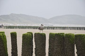 meeuw op strandpaal van Jeroen Franssen