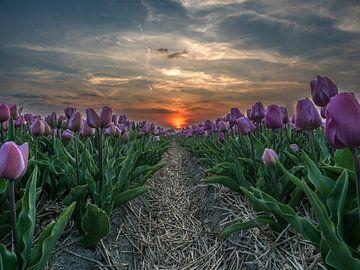 Paarse tulpen von Patrick van Baar