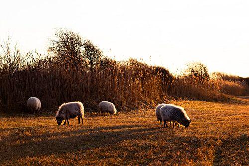 Schapen grazen tijdens zonsondergang in Meijendel