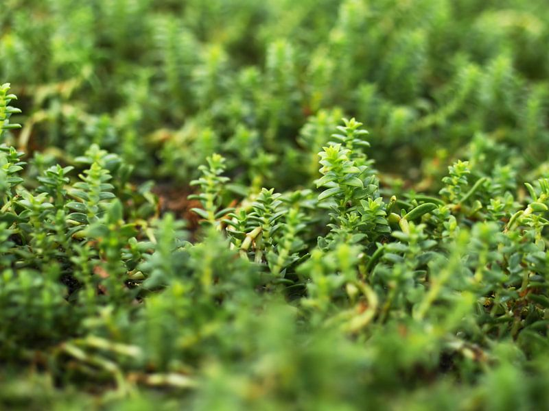 Salzmiere (Honckenya peploides) am Ostseestrand, Makroaufnahme von Jörg Hausmann