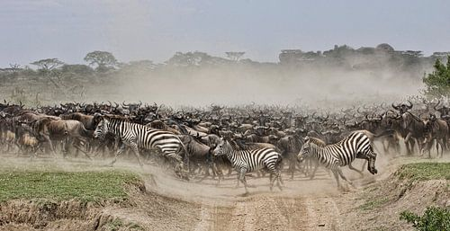 migratie van zebra's en gnoes