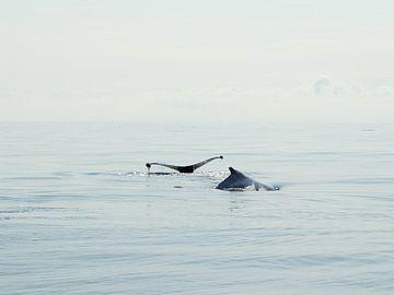 Bultrug walvis - Alaska  van