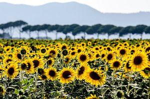 Zonnebloemen in Toscane van Rob Herstel
