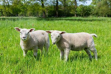 Spring season two newborn white lambs in green meadow sur Ben Schonewille