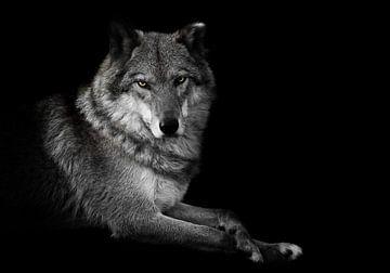 Evaluation du regard. La femelle louve est magnifiquement couchée sur le sol, imposante. Animal grac sur Michael Semenov